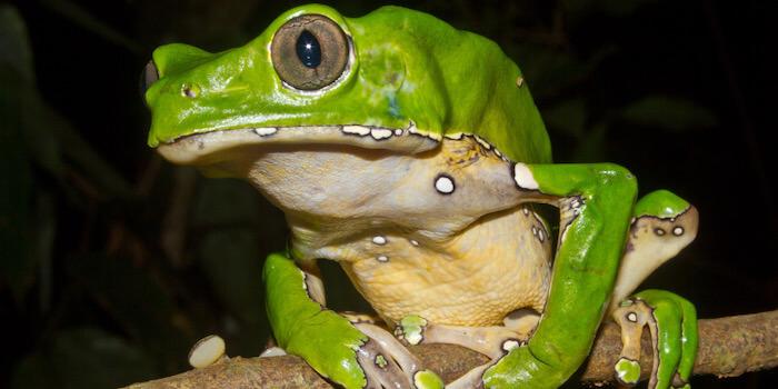 žába kambo a terapie kambo
