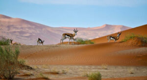 Animals eating Salvadora persica rawtoothbrush tree in desert